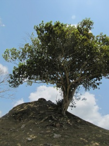 all spice tree